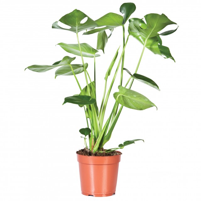 """<span class=""""atmosphere-large-text"""">Allemaal gaten!</span><span class=""""intro"""">Monstera deliciosa – Gatenplant</span>"""