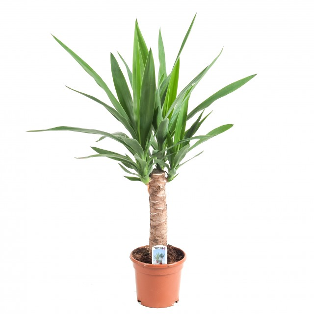 "<span class=""atmosphere-large-text"">Yucca's</span><span class=""intro"">Yucca – Palmlelie</span>"