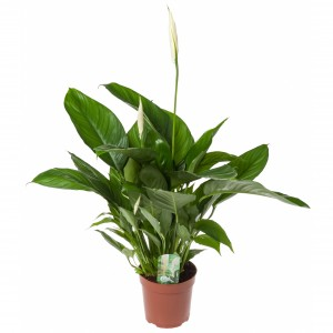 "Illustratie: foto van Spathiphyllum Lima. In de pot is een kaart geprikt met de tekst ""Spathiphyllum Nature at home. Healthy breath."""