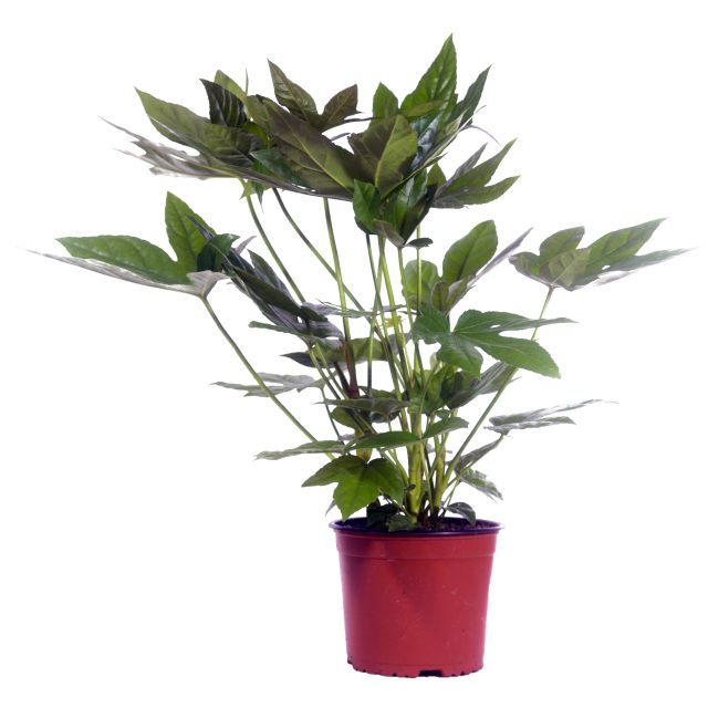 """<span class=""""atmosphere-large-text"""">Fatsia japonica</span><span class=""""intro"""">Fatsia japonica – Vingerplant</span>"""